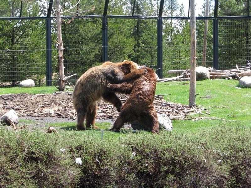 Bearsplaying